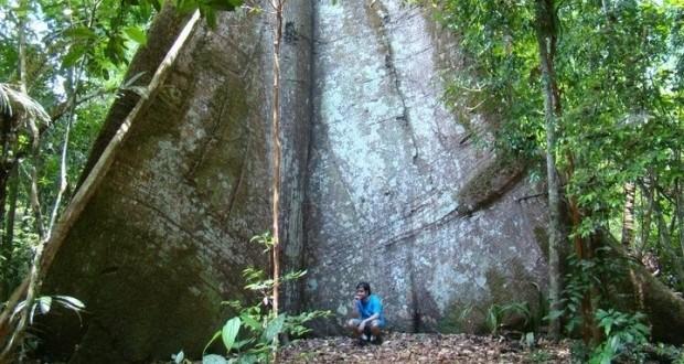 A gigantesca árvore amazônica na Floresta Nacional dos Tapajós, no Pará