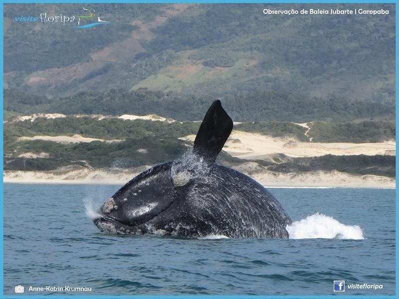 temporada-baleias-florianopolis
