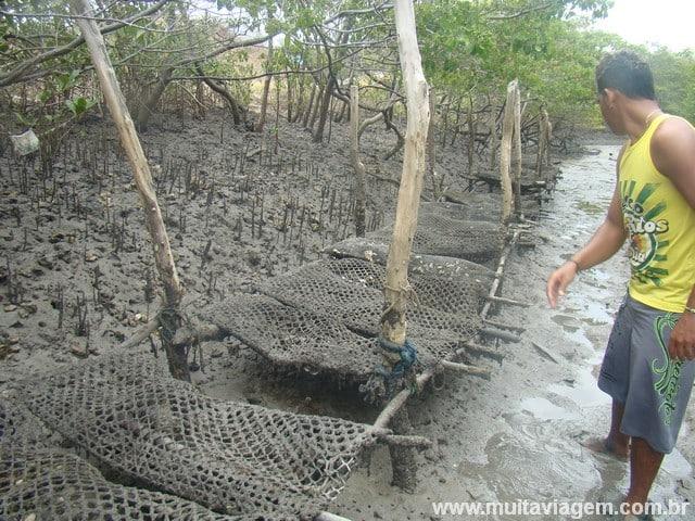 A criação de ostras no manguezal