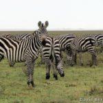 Safári na África:  O Parque Nacional do Serengeti, na Tanzânia