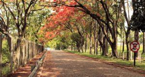 Foto de rua com árvores floridas em Caconde, SP