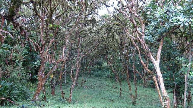 Adorei o cenário: um bosque de goiabeiras em Mindo