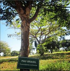 arvore-pau-brasil