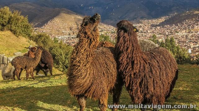 Alpacas cospem em mim com Cusco ao fundo, no Peru