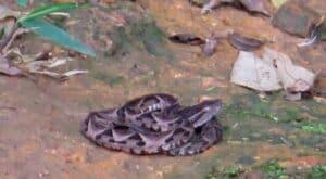 Cobra na trilha do Bonete