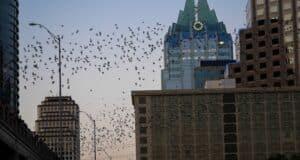 Morcegos em Austin