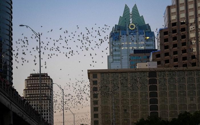 Milhares de morcegos sobrevoam a ponte da avenida Congress, em Austin-TX.