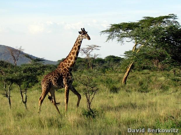 Sáfari na África - Parque do Serengeti - Tanzânia -David Berkowitz - www.twitter.com/dberkowitz - www.marketersstudio.com