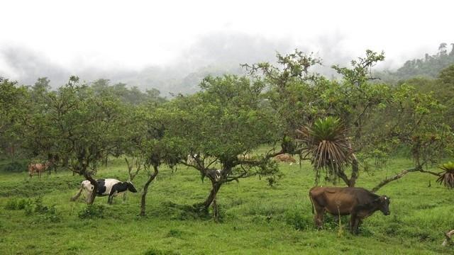 A vista do quarto da minha cabana em Mindo: vacas, goiabeiras, mato, nuvens...