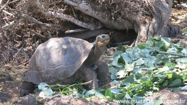 As tartarugas terrestres vivem mais de 100 anos