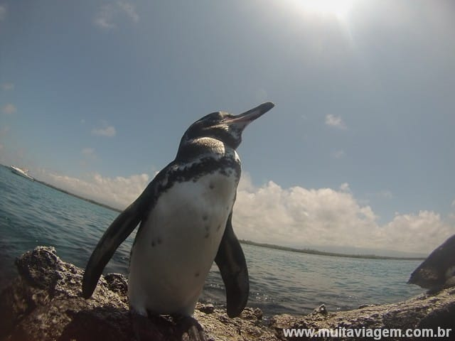 Uma foto de pertinho do pinguim de Galápagos