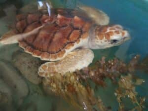 tartaruga mar