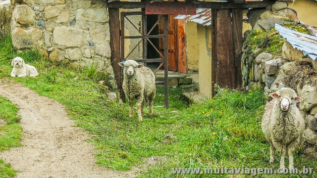 Ovelhas e pudle me encaram em Ingapirca, as maiores ruínas incas no Equador