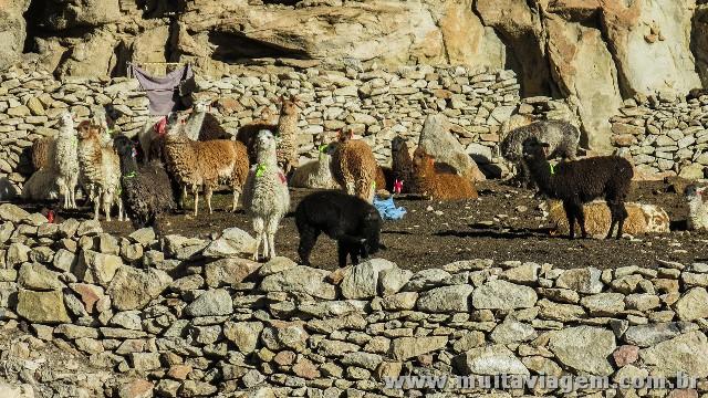 Lhamas em um curral no altiplano boliviano'elas saem para pastar e voltam sozinhas no final do dia