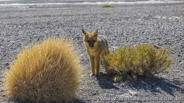 Filhote de raposa no deserto no altiplano boliviano. Como notou um amigo, ela se confunde com as moitas