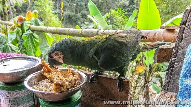 Papagaio come frango na Amazônia: é canibalismo?