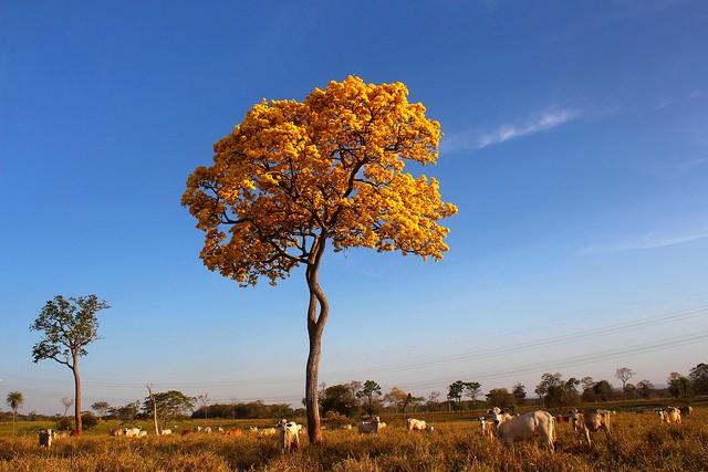 ipe-amarelo-pantanal